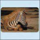 Hříbě zebry - Keňa
