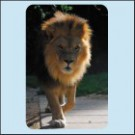 Lev berberský, ZOO Dvůr Králové