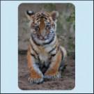 Tygře Boris, ZOO Dvůr Králové