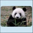 Velká panda - Sechuan Čína
