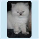 Kotě perské kočky